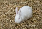 picture of rabbit hutch  - Cute and funny single rabbit standing on dry grass - JPG