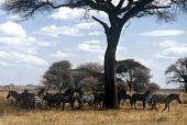 Zebra Herd, Tanzania