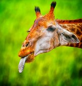 Cute giraffe with tongue out funny look