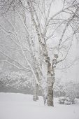 Snow covered birch trees after heavy snowfall in winter