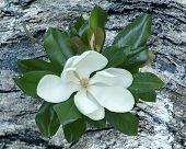 Magnolia Bloom on bark background