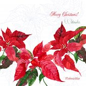 Background  with red Christmas poinsettia-04