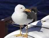Yellow-legged gull on the ship.