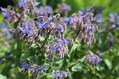 stock photo of borage  - Blue flowers of Borage  - JPG