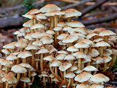 Clustered Woodlover (hypholoma Fasciculare)