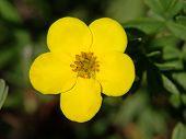 Yellow Wild Buttercup Taken Closeup.