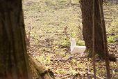 White Fallow-deer