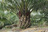Palm Oil tree