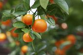picture of orange-tree  - Ripe oranges on tree - JPG
