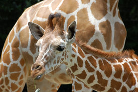 stock photo of baby animal  - 8 months old baby giraffe and mother - JPG