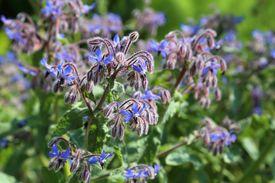 stock photo of borage  - Blue flowers of Borage  - JPG