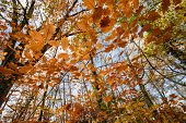 foto of temperance  - Oak forest temperate forest view from below at fall - JPG