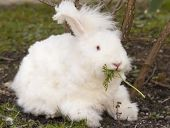 image of eat grass  - Cute fluffy angora bunny rabbit sitting on grass and eating parsley - JPG