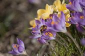 stock photo of violet flower  - A bee busy drinking nectar from the violet crocus flower - JPG