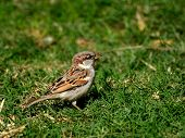 foto of grass bird  - Little brown bird in the grass standing