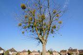 stock photo of mistletoe  - Group of mistletoes growing on a tree - JPG