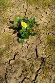 picture of celandine  - Wild flower celandine growing from cracked clay - JPG