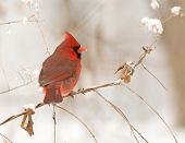 stock photo of cardinal  - Male northern cardinal perched on a branch following a winter storm