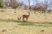picture of antelope horn  - antelope and her cub on a background of green grass - JPG