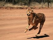 stock photo of cheetah  - Cheetah running behind a moving object on a open plain - JPG
