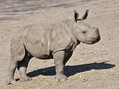 image of afrikaner  - Juvenile White Rhinoceros walking on the dry ground in its habitat - JPG