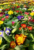 pic of primrose  - Botanical background of vibrant colorful multicolored primroses in a floriculture plantation - JPG