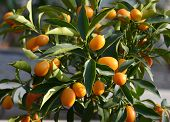 stock photo of tangerine-tree  - Crop of fresh colorful orange ornamental tangerines growing on a potted tree in a close up view - JPG
