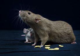 pic of rats  - Decorative rat  - JPG