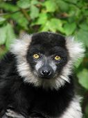 Portrait of the ruffed lemur