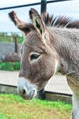 image of headstrong  - Donkey closeup portrait in sunny day - JPG