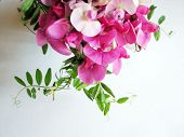 image of sweet pea  - Pink sweet pea with copy space for background image  - JPG