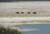 foto of wild donkey  - group of donkeys walking along the Makgadikgadi Pan in Botswana Africa - JPG