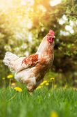 pic of roosters  - Young rooster in the summer garden - JPG