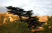������, ������: Cedar of Lebanon Cedrus libani and mountains in sunset