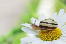 foto of garden snail  - Garden snail sits on a camomile close up - JPG