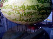 Water Melon - Benincasa Hispida
