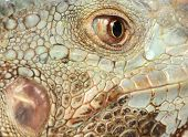 extreme close up of the head of an iguana
