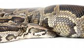 a photo of anaconda on white background
