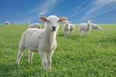 image of mustering  - cute little lambs on fresh green meadow - JPG