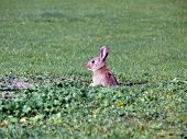 foto of thumper  - portrait of wild rabbit looking out from hole in grass the ground