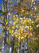 Aspen Leaves Changing