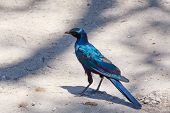 Bird Cape Starling, Okavango, Botswana Africa poster