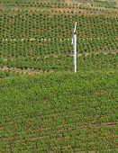 Windmill In Vineyard