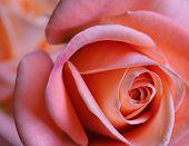Close To A Rose
