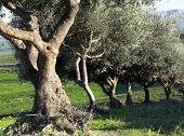 Cortex of trees of olive in row