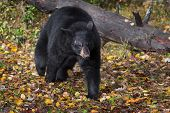 Black Bear (ursus Americanus) Trots Forward From Log - Captive Animal poster