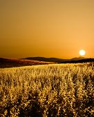 field of cereal in backlight, silhoutte of hill in the sunset