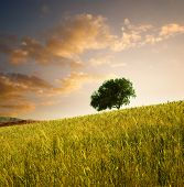 solitary tree in wheat field at sunset