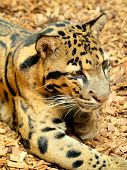 image of ocelot  - Ocelot lying on a bark pieces - JPG