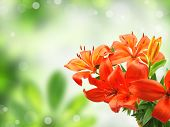 Orange lily on blur green background